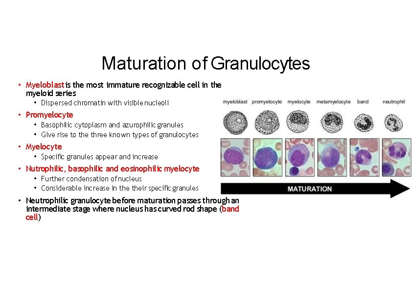 Maturation of Granulocytes • Myeloblast is the most immature recognizable cell in the myeloid