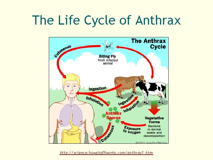 The Life Cycle of Anthrax http: //science. howstuffworks. com/anthrax 1. htm