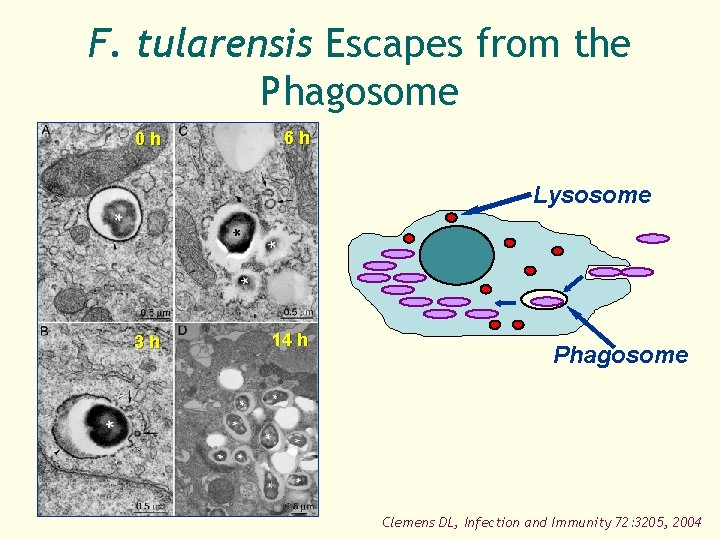 F. tularensis Escapes from the Phagosome 0 h 6 h Lysosome 3 h 14