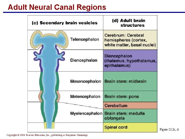 Adult Neural Canal Regions Figure 12. 2 c, d Copyright © 2004 Pearson Education,