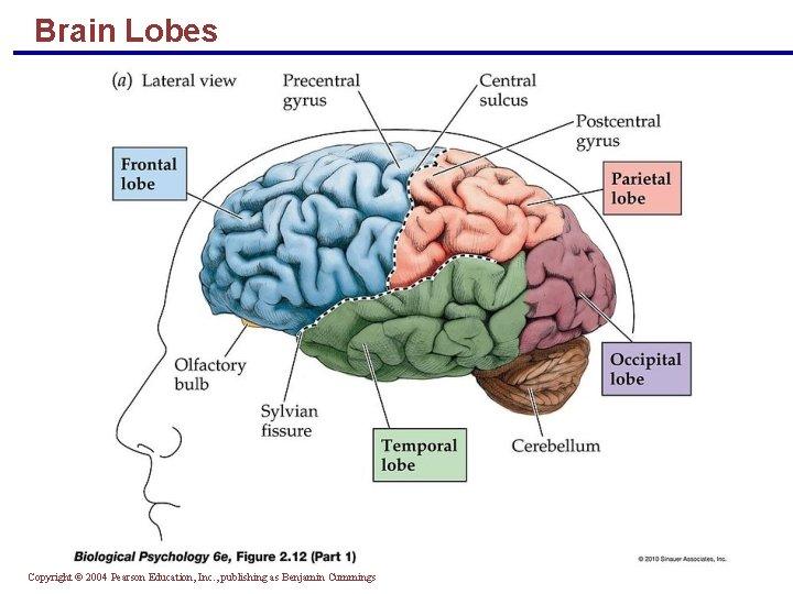Brain Lobes Copyright © 2004 Pearson Education, Inc. , publishing as Benjamin Cummings