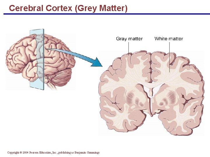 Cerebral Cortex (Grey Matter) Copyright © 2004 Pearson Education, Inc. , publishing as Benjamin