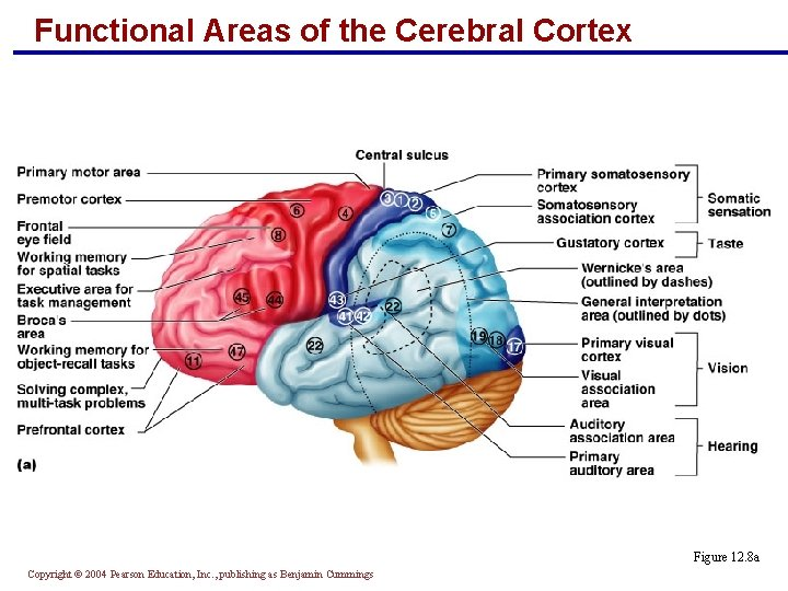 Functional Areas of the Cerebral Cortex Figure 12. 8 a Copyright © 2004 Pearson