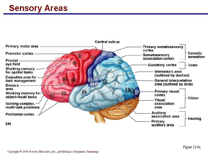 Sensory Areas Figure 12. 8 a Copyright © 2004 Pearson Education, Inc. , publishing