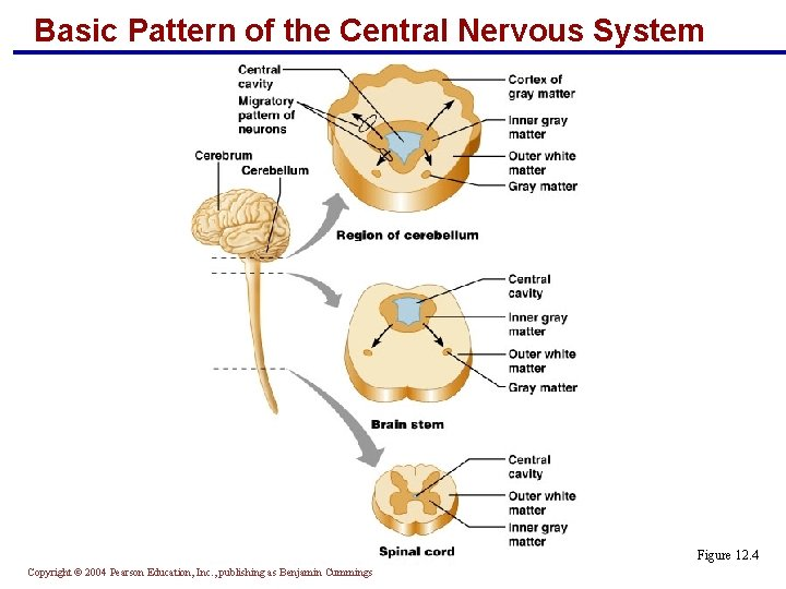 Basic Pattern of the Central Nervous System Figure 12. 4 Copyright © 2004 Pearson