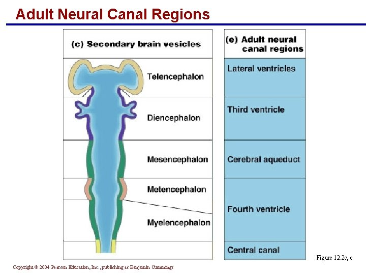 Adult Neural Canal Regions Figure 12. 2 c, e Copyright © 2004 Pearson Education,