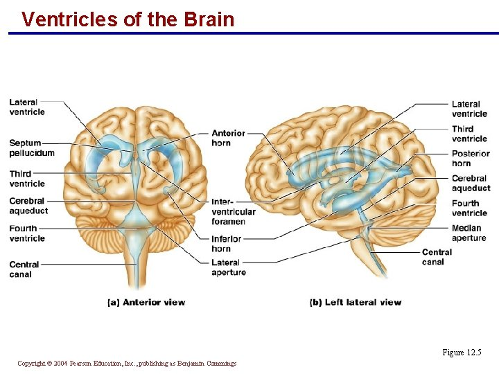 Ventricles of the Brain Figure 12. 5 Copyright © 2004 Pearson Education, Inc. ,