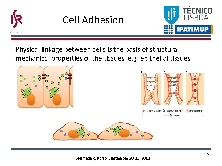 Cell Adhesion Physical linkage between cells is the basis of structural mechanical properties of