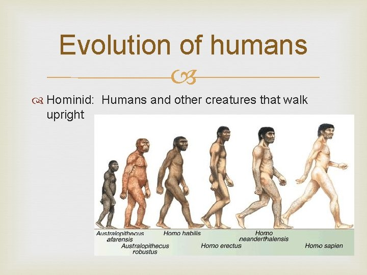 Evolution of humans Hominid: Humans and other creatures that walk upright