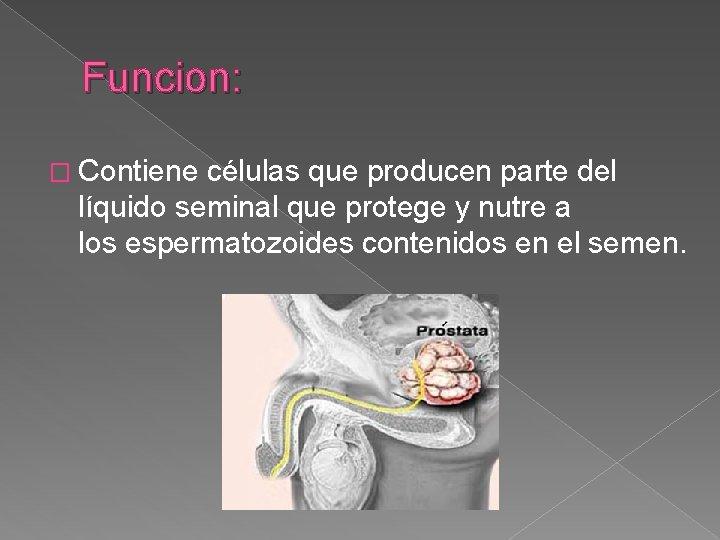 Funcion: � Contiene células que producen parte del líquido seminal que protege y nutre