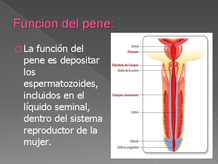 Funcion del pene: � La función del pene es depositar los espermatozoides, incluidos en