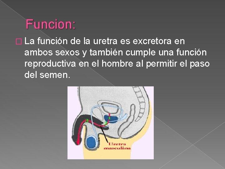 Funcion: � La función de la uretra es excretora en ambos sexos y también
