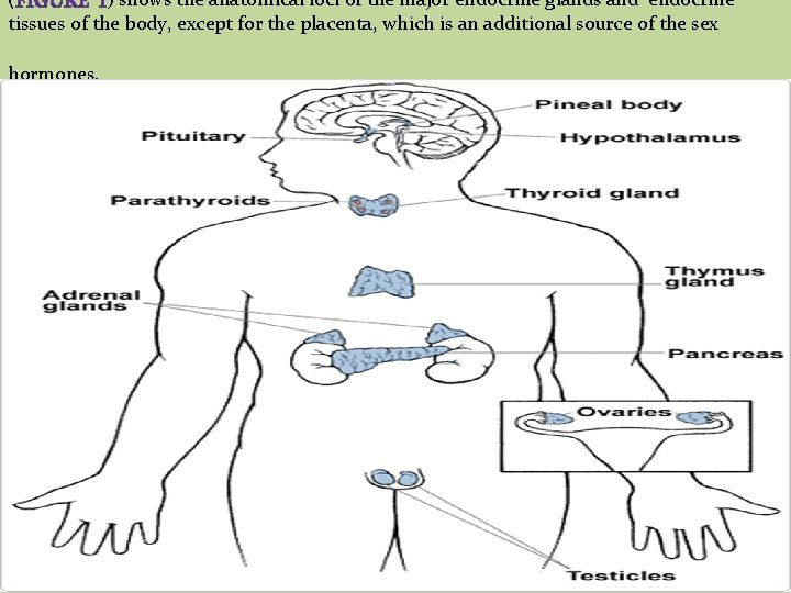 ( ) shows the anatomical loci of the major endocrine glands and endocrine tissues