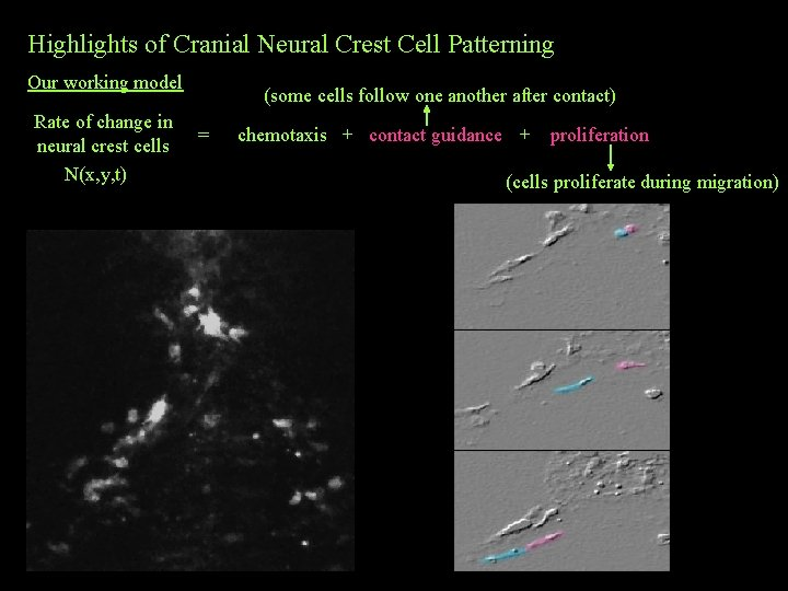 Highlights of Cranial Neural Crest Cell Patterning Our working model Rate of change in
