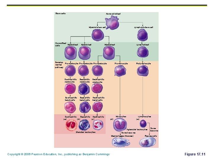 Stem cells Hemocytoblast Myeloid stem cell Committed Myeloblast cells Myeloblast Lymphoid stem cell Myeloblast