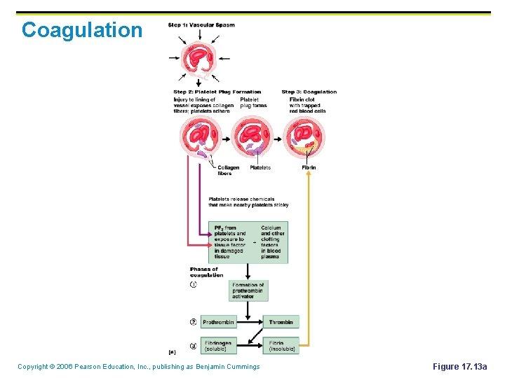 Coagulation Copyright © 2006 Pearson Education, Inc. , publishing as Benjamin Cummings Figure 17.