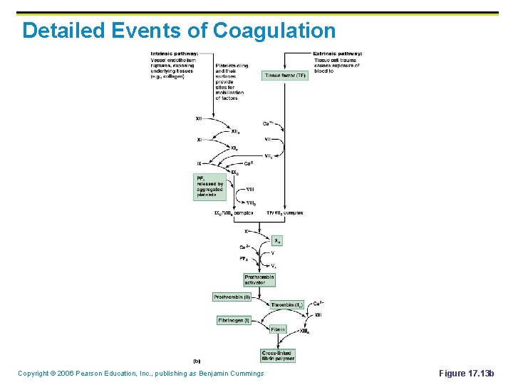 Detailed Events of Coagulation Copyright © 2006 Pearson Education, Inc. , publishing as Benjamin