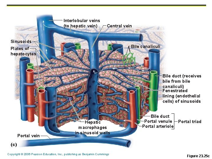 Interlobular veins (to hepatic vein) Central vein Sinusoids Bile canaliculi Plates of hepatocytes Bile