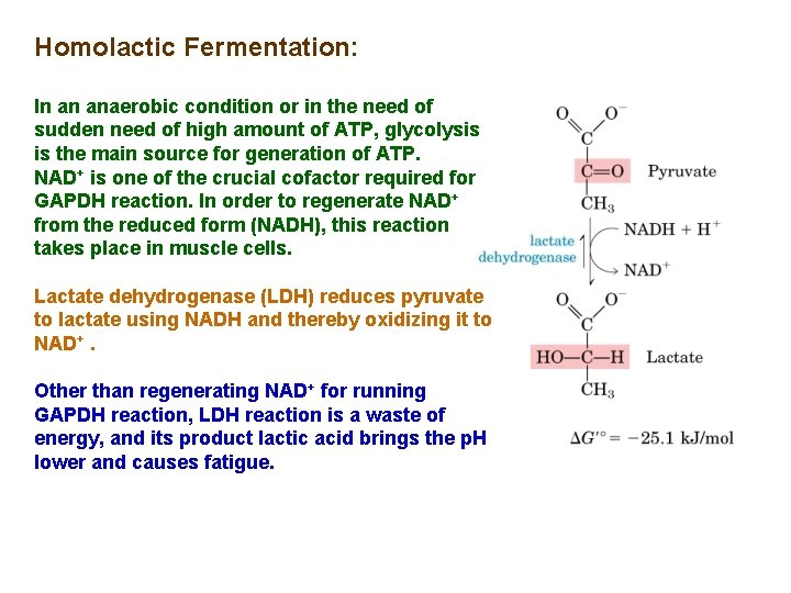 Homolactic Fermentation: In an anaerobic condition or in the need of sudden need of
