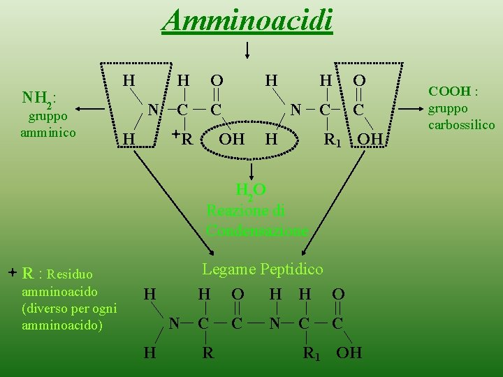 Amminoacidi NH 2: gruppo amminico H N H O C C H R H