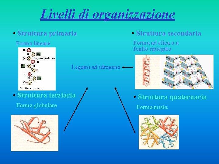 Livelli di organizzazione • Struttura primaria • Struttura secondaria Forma ad elica o a
