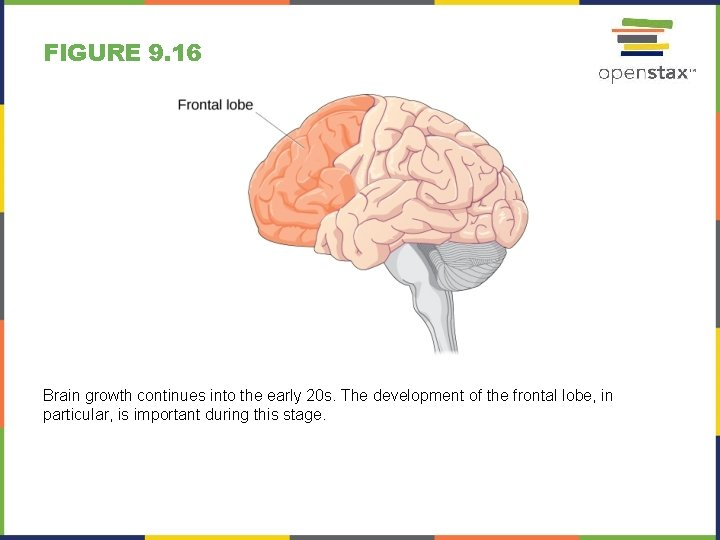 FIGURE 9. 16 Brain growth continues into the early 20 s. The development of
