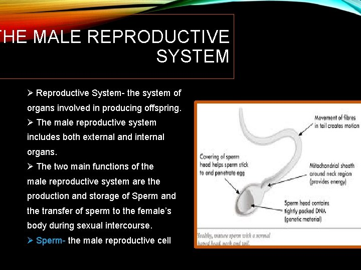 THE MALE REPRODUCTIVE SYSTEM Ø Reproductive System- the system of organs involved in producing