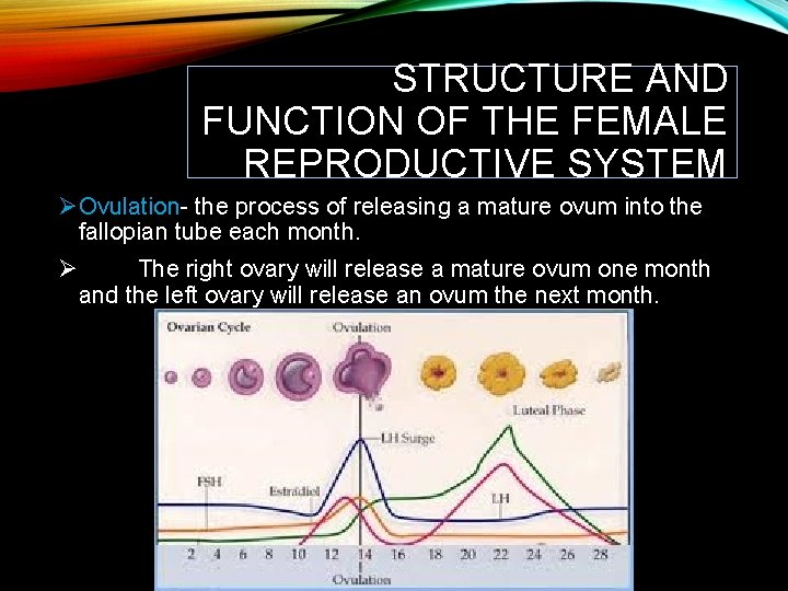 STRUCTURE AND FUNCTION OF THE FEMALE REPRODUCTIVE SYSTEM ØOvulation- the process of releasing a