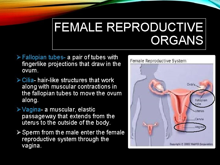 FEMALE REPRODUCTIVE ORGANS Ø Fallopian tubes- a pair of tubes with fingerlike projections that