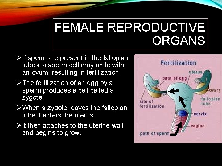 FEMALE REPRODUCTIVE ORGANS ØIf sperm are present in the fallopian tubes, a sperm cell