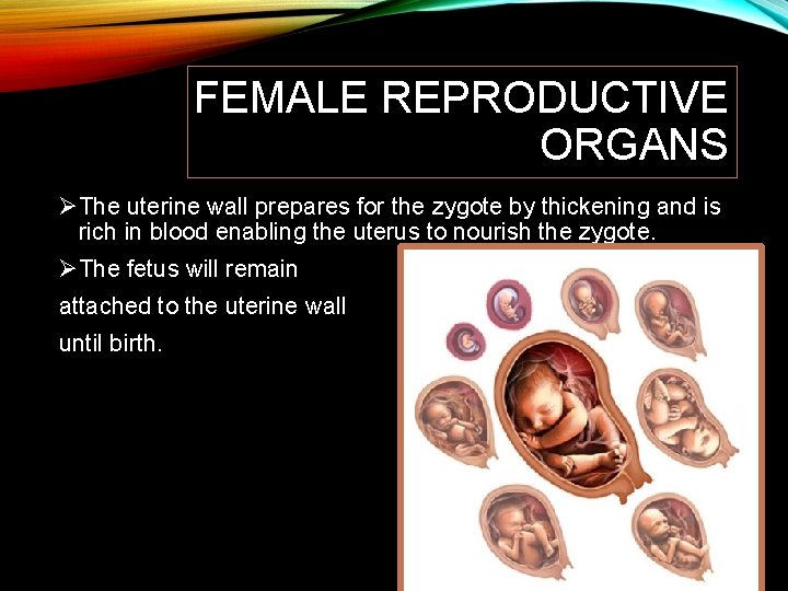 FEMALE REPRODUCTIVE ORGANS ØThe uterine wall prepares for the zygote by thickening and is
