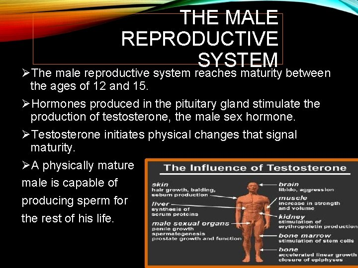 THE MALE REPRODUCTIVE SYSTEM ØThe male reproductive system reaches maturity between the ages of