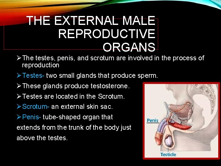 THE EXTERNAL MALE REPRODUCTIVE ORGANS ØThe testes, penis, and scrotum are involved in the