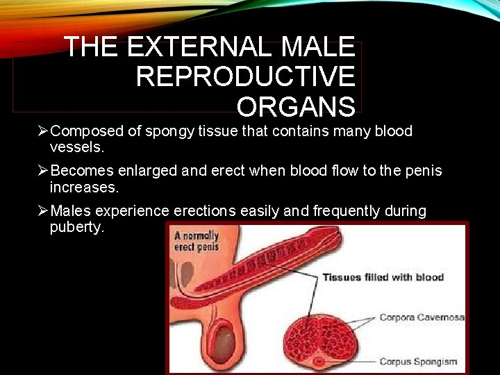 THE EXTERNAL MALE REPRODUCTIVE ORGANS ØComposed of spongy tissue that contains many blood vessels.