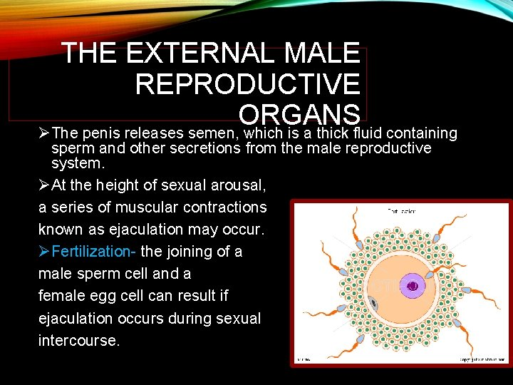 THE EXTERNAL MALE REPRODUCTIVE ORGANS ØThe penis releases semen, which is a thick fluid
