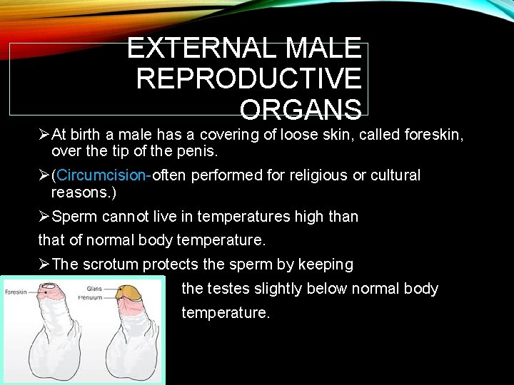 EXTERNAL MALE REPRODUCTIVE ORGANS ØAt birth a male has a covering of loose skin,
