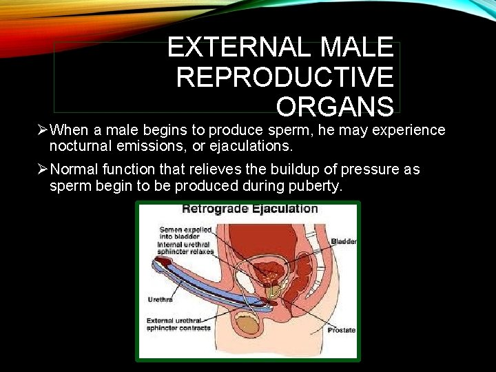 EXTERNAL MALE REPRODUCTIVE ORGANS ØWhen a male begins to produce sperm, he may experience