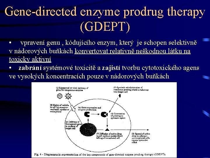 Gene-directed enzyme prodrug therapy (GDEPT) • vpravení genu , kódujícího enzym, který je schopen