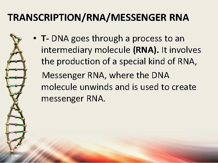 TRANSCRIPTION/RNA/MESSENGER RNA • T- DNA goes through a process to an intermediary molecule (RNA).