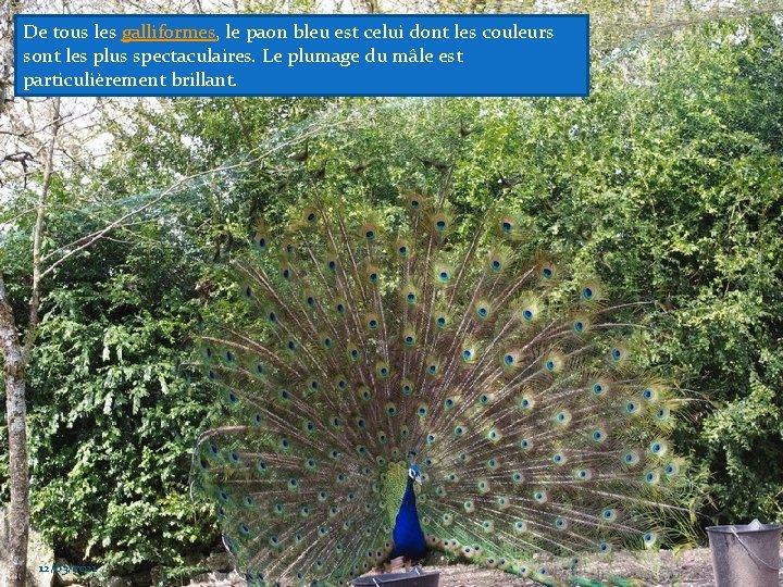 De tous les galliformes, le paon bleu est celui dont les couleurs sont les
