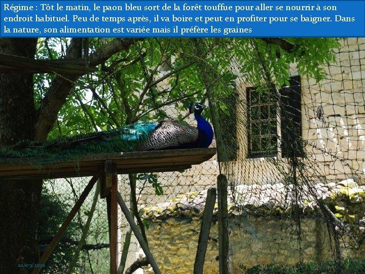Régime : Tôt le matin, le paon bleu sort de la forêt touffue pour