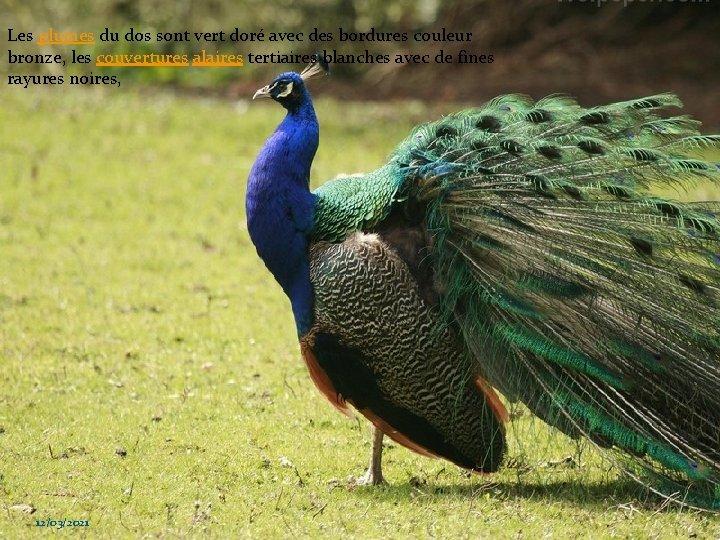 Les plumes du dos sont vert doré avec des bordures couleur bronze, les couvertures