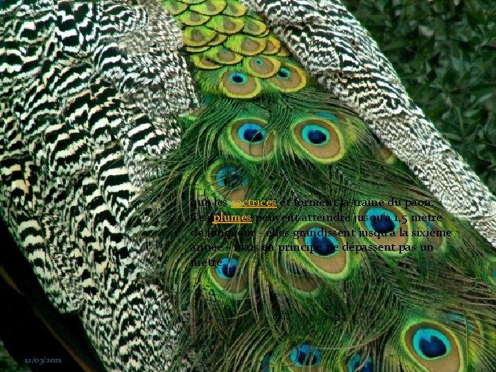 que les rectrices et forment la traîne du paon. Ces plumes peuvent atteindre jusqu'à