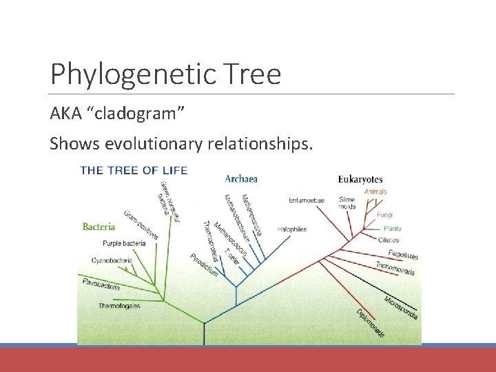 "Phylogenetic Tree AKA ""cladogram"" Shows evolutionary relationships."