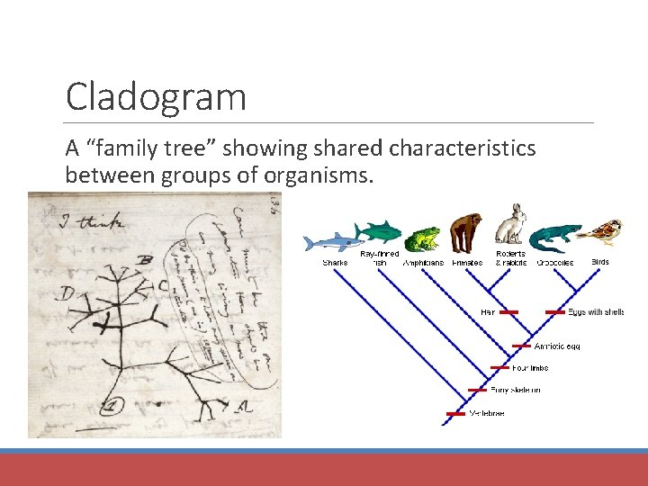 """Cladogram A """"family tree"""" showing shared characteristics between groups of organisms."""
