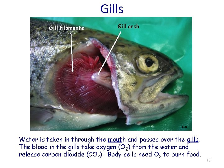 Gills Gill filaments Gill arch Dar Water is taken in through the mouth and