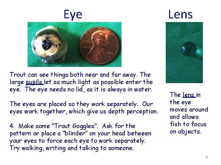 Eye Lens Trout can see things both near and far away. The large pupils