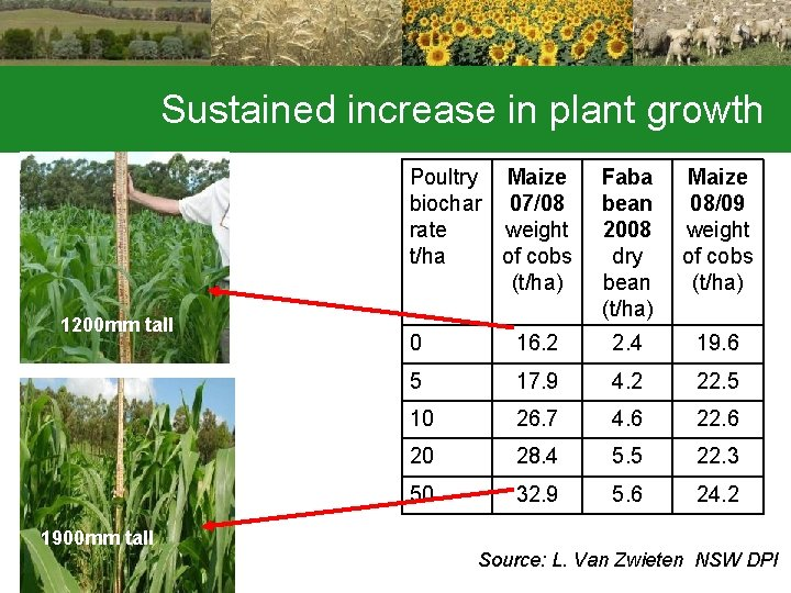 Sustained increase in plant growth Poultry Maize biochar 07/08 rate weight t/ha of cobs