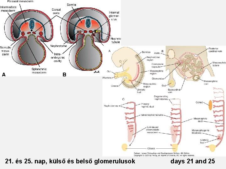21. és 25. nap, külső és belső glomerulusok days 21 and 25