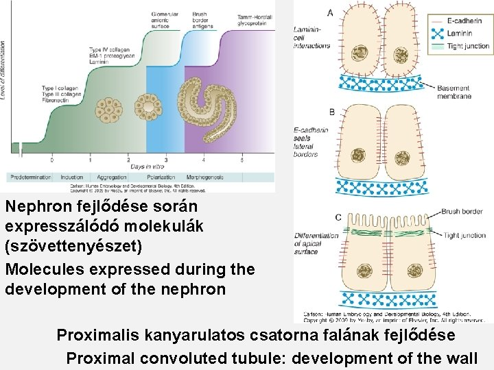 Nephron fejlődése során expresszálódó molekulák (szövettenyészet) Molecules expressed during the development of the nephron